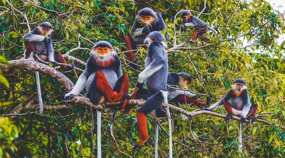 khỉ rừng cúc phương