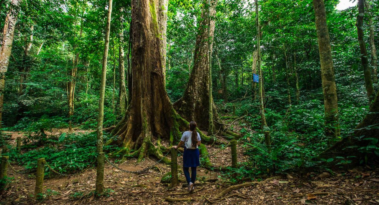 cây chò ngàn năm